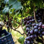 AgroPublic | mavro stafili antras kalymeno kefali