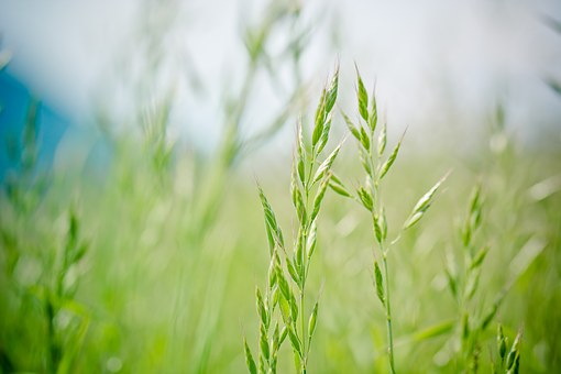 AgroPublic | pointed fescue 1423177 340