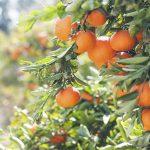 AgroPublic | portokalia