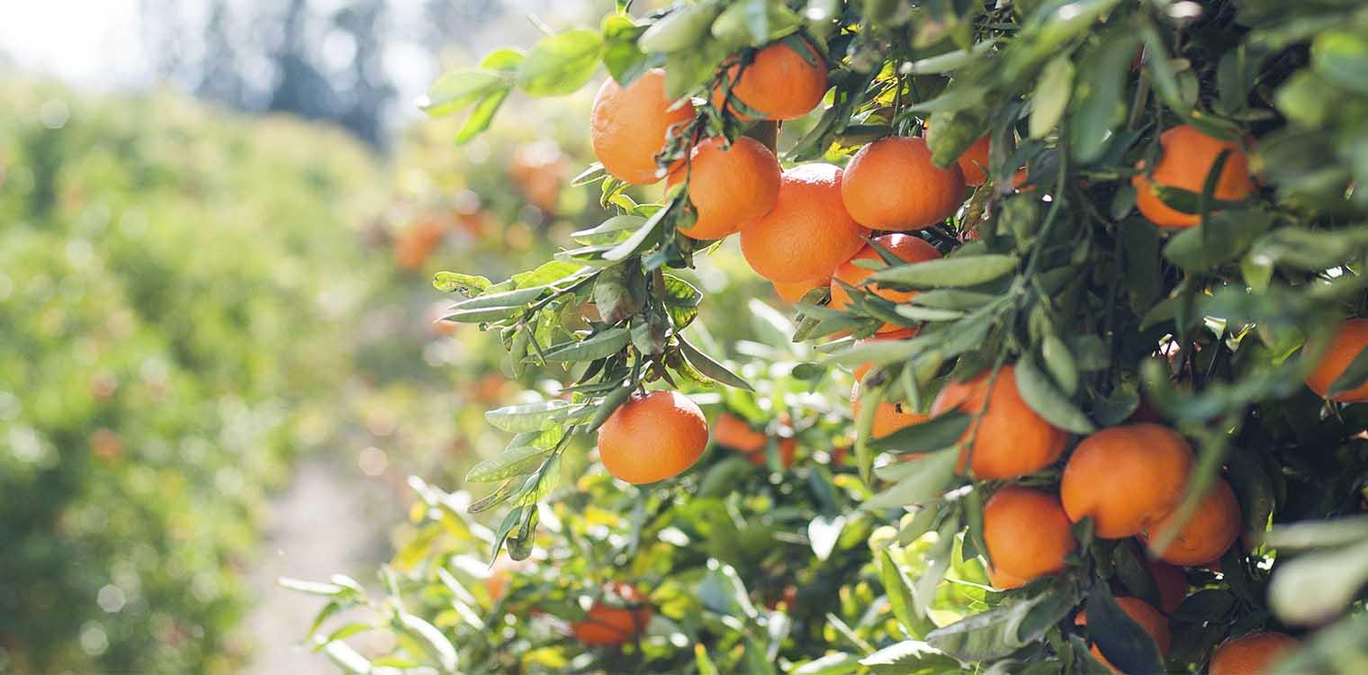 AgroPublic   portokalia