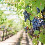 AgroPublic | purple grapes 553462 1280 e1576228584150