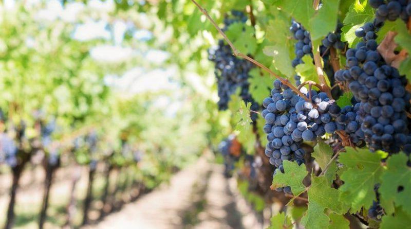 purple grapes 553462 1280 e1576228584150
