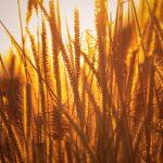 AgroPublic | rice agriculture field golden hour grass 5k 86 1366x768 1