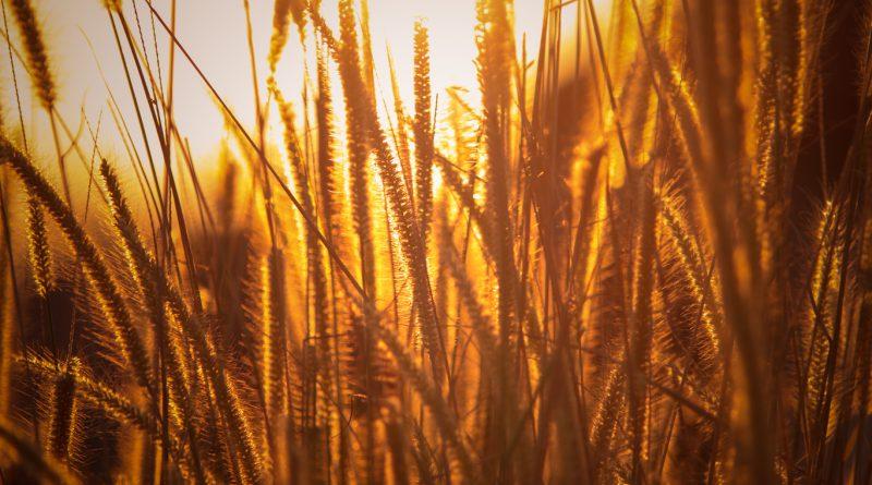 rice agriculture field golden hour grass 5k 86 1366x768 1