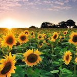 sunflower at sunset royalty free image 1571951893