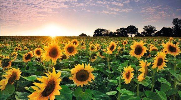 AgroPublic   sunflower at sunset royalty free image 1571951893