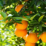 πορτοκαλια εα