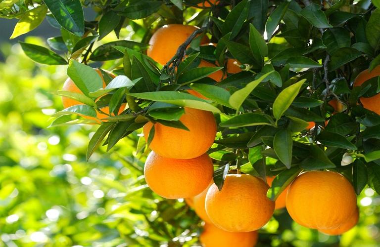 AgroPublic | πορτοκαλια εα