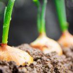 AgroPublic | Onions