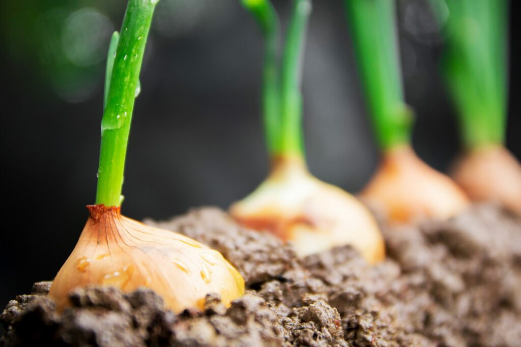 AgroPublic | Onions scaled