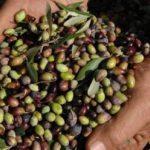 AgroPublic | elaioparagogi aitoloakarnania 752x400 1 1440x564 c