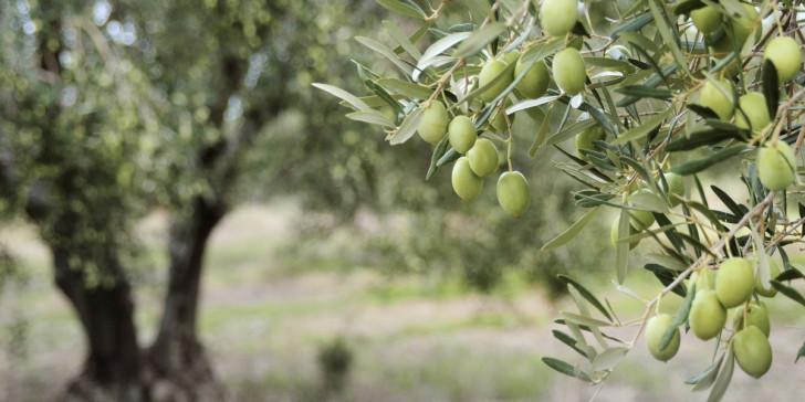 AgroPublic | elies elaiodendra