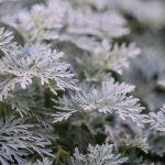 AgroPublic | mistikakipou artemisia