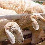 AgroPublic | photo sheeps 143364379