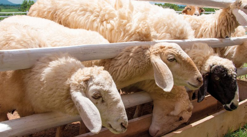 photo sheeps 143364379