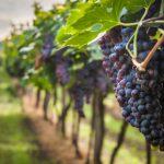 AgroPublic | ampelonas me mavra stafylia