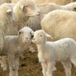 AgroPublic | cropped hettinger Ewe and Lamb