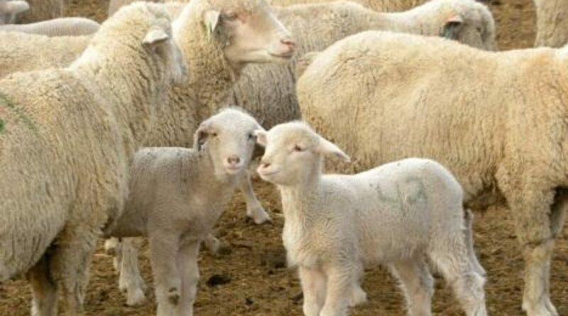 cropped hettinger Ewe and Lamb