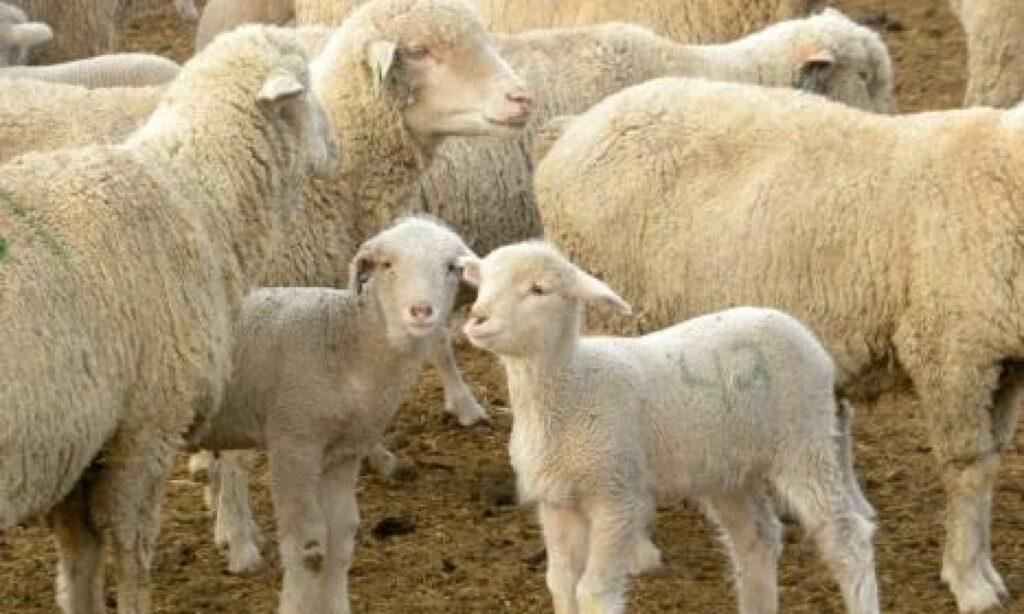 AgroPublic   cropped hettinger Ewe and Lamb