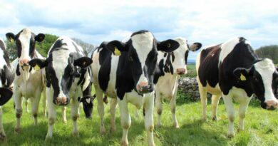 Σε απόγνωση οι αγελαδοτρόφοι: Ασχοληθείτε με τον κλάδο μας!