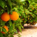 AgroPublic   portokalia full