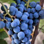 AgroPublic | xinomavro2