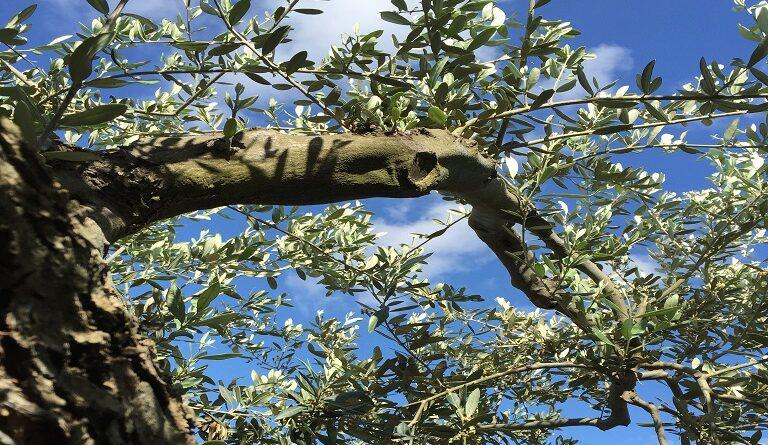 1613638443 0 Olive tree SQ