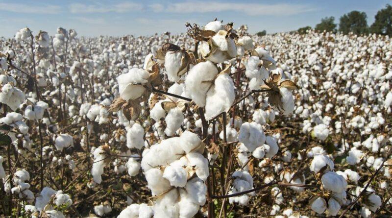 cotton 4649804 1280 1024x678 1