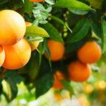AgroPublic | kladi portokalia