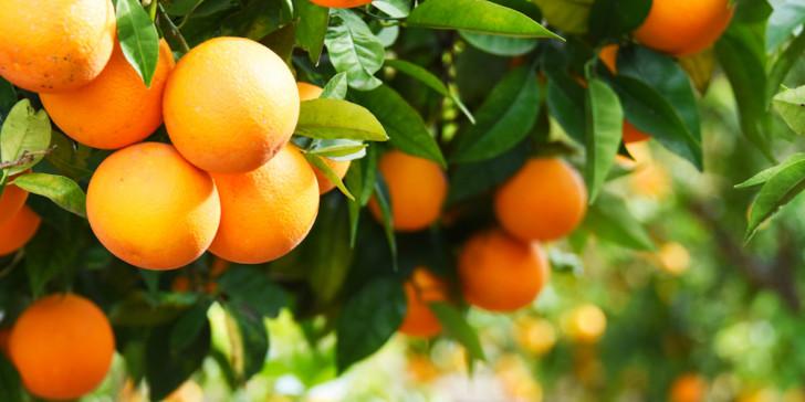 kladi portokalia