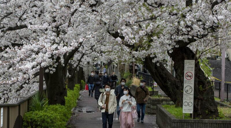 AP cherry blossom