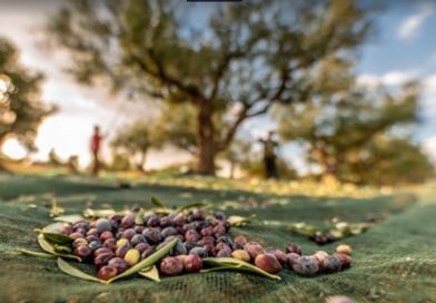 Ελιά Καλαμάτας ΠΟΠ | Μνημόνιο Συνεργασίας Λακωνίας – Μεσσηνίας