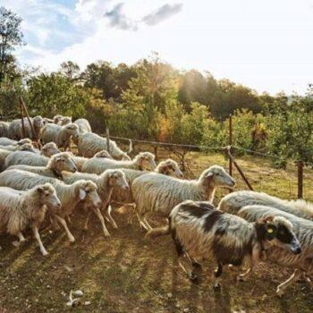 AgroPublic | pecore 725x512 2