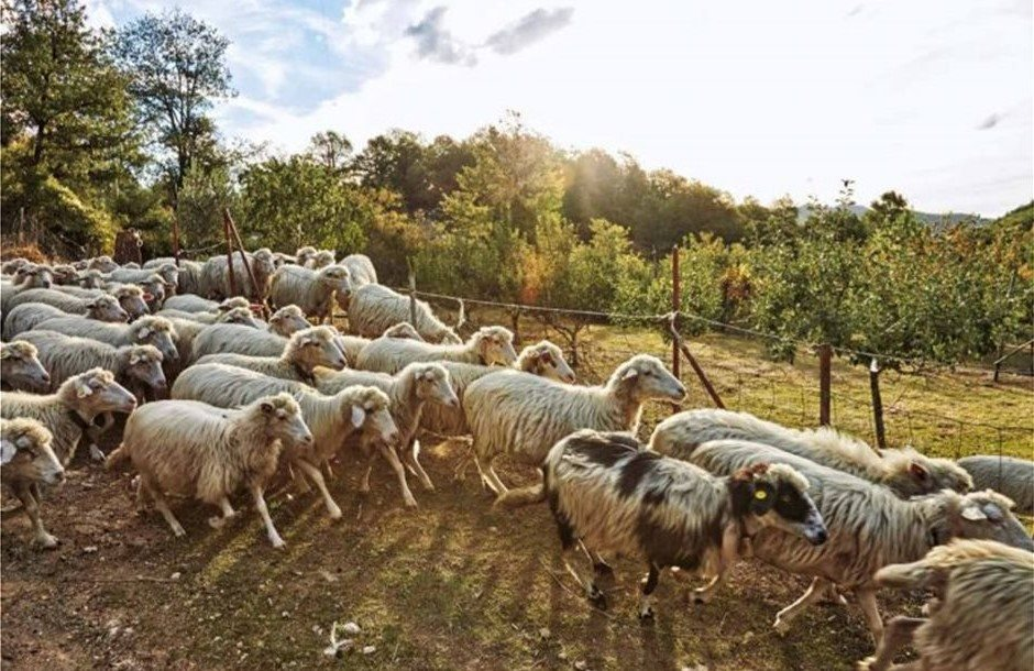 AgroPublic | pecore