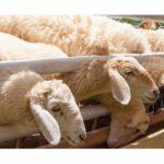 AgroPublic | photo sheeps 143364379 1