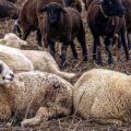 AgroPublic | provata arnia katarroikos