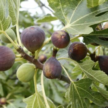 AgroPublic | fig tree