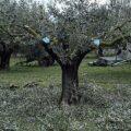 AgroPublic | olive tree