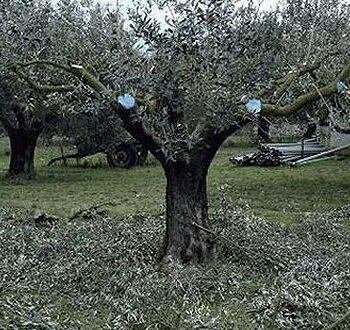 AgroPublic   olive tree