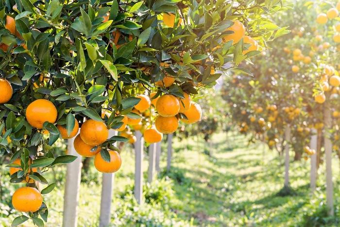 AgroPublic | portokali