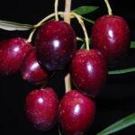 AgroPublic | Olives fruits
