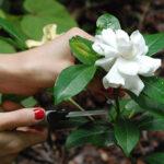 AgroPublic | gardenia51