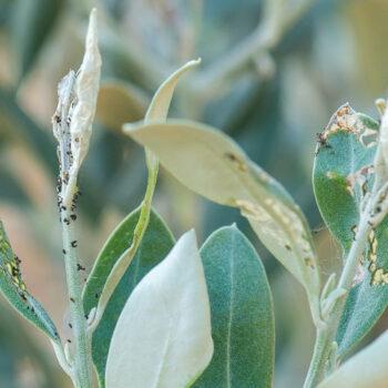 AgroPublic | mistikakipou margaronia elias antimetopisi