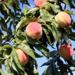 AgroPublic | mistikakipou rodakinia kalliergeia