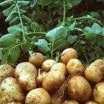 AgroPublic | terrapapers.com patata
