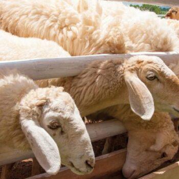 AgroPublic   photo sheeps 143364379