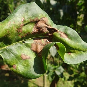 AgroPublic   pseudomonassyringaeonleaf