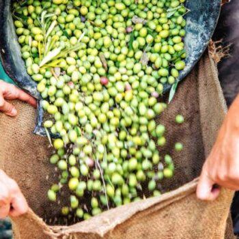 AgroPublic | olive farm
