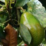 AgroPublic | avocado