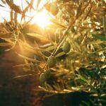AgroPublic | elia elaiolado 2